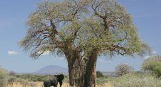 Το αφρικανικό μπαομπάπ
