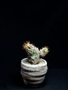般若モンスト Astrophytum ornatum f. monst