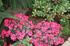 私の庭の赤いツツジ フラワーズ 自然 高解像度で壁紙