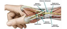Radial Ligament Wrist is are most highly developed on palmar side of wrist. It is between the hand and the forearm on the radial side (the side with the thumb).These is an anatomy picture reference. Wrist Anatomy, Human Body Anatomy, Muscle Anatomy, Nerve Anatomy, Anatomy Study, Anatomy Reference, Radial Nerve, Hand Surgery, Medical Anatomy