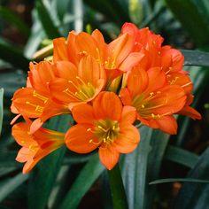 Clivia miniata, Bronze Velvet x Piere de Coste.  Colorado Clivia's plant number 2342C.