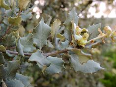 encina (Quercus Ilex) Evergreen oak