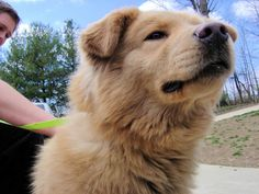 golden retriever + chow chow mix! Looks just like my Mason! Miss him so much :'(