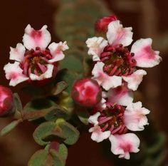 Ericomyrttus serpyllifolia WAWildflowers RobDavis8181 Rose, Flowers, Plants, Pink, Plant, Roses, Royal Icing Flowers, Flower, Florals
