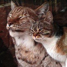 Deze kat en lynx werden onverwacht de beste vrienden ooit