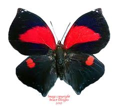The Siderone syntyche polymela is a very rare butterfly from Costa Rica.