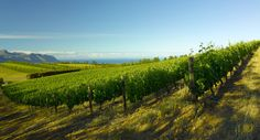 Waterkloof Vineyards in Somerset West near Cape Town, South Africa
