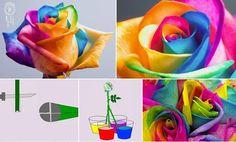 Beauty rose *o*