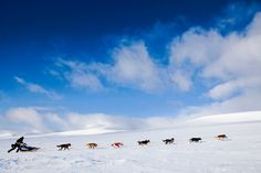 Musher Robert Soerli races between Levajok and Tana Bru during the 1000 km (621 miles) long Finnmarkslepet, world's northernmost sled dog race, March 13, 2011.