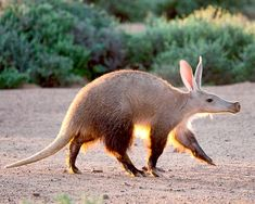 Aardvarks have specially adapted claws that are capable of digging up termites underground or from mounds.