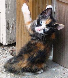 Calico Cutie by Philosopher Queen, via Flickr