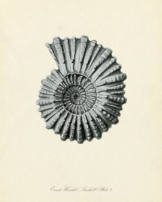 Vintage Ernst Haeckel Seashell Series Blue Tint Plate 2 Natural History Art Print 8 x 10. $10.00, via Etsy.