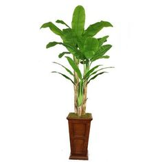 Laura Ashley Home Tall Banana Tree in Planter Base Color: Brown