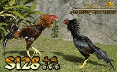 daftar sabung ayam online s128 Rooster, Animals, Animales, Animaux, Animal, Animais, Chicken