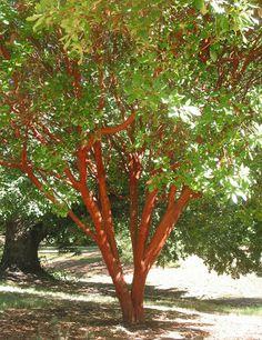 Arbutus, its cinnamon colour striking
