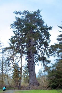 Sitka Spruce (Picea sitchensis) tallest (not in pic) measured specimen was 96.7 m height > http://en.wikipedia.org/wiki/Sitka_Spruce