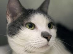 Brooklyn NYC 10/12/15 - Urgent deathrow cat #A0542815 SPECIAL PLEA 11-Year Old PRECIOUS Is A Doll!  Long-Timer Kitty Here Since August 7 NEEDS YOU! A volunteer writes: Precious is a mature lady who is precious like a diamond, stunning and brilliant. She is a gray and white with a cute face and a black nose. She enjoys your company and is happy to have it. Precious is a sweet lady who really needs a new home. Give her one and she will return her love to you and bring some happiness to you.
