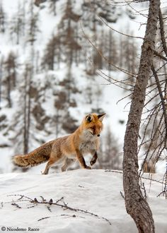 Red Fox by Nicodemo Racco on 500px                                                                                                                                                      More