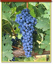 Cabernet Franc. We use this in our Woodward Canyon Estate Reserve.