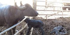 Stop buying mozarella from south Italy. Animal cruelty to bull calves