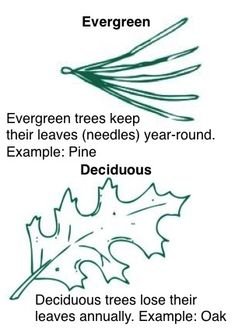 In the fall, some trees lose their leaves and some don't. Here's an activity about evergreen and deciduous trees!
