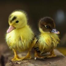 ^Baby ducks
