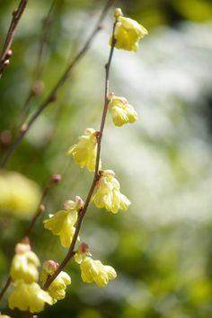 buttercup winter-hazel