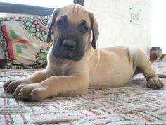 Will someone please get me a great dane?