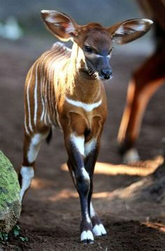 "*CRITICALLY ENDANGERED* The eastern or mountain bongo (Tragelaphus eurycerus isaaci) is only found in the wild in one remote region of central Kenya. ""Repinned by Keva xo""."