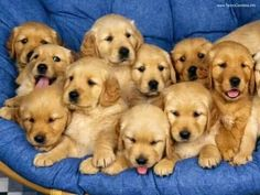 golden retriever pups :D  <3<3<3<3<3<3<3