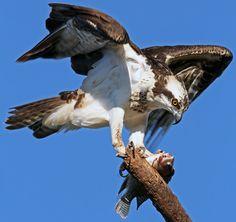 A águia-pescadora é originária da América do Norte mas é migratória.  (Foto: Alex Satsukama/VC no TG)