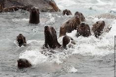Sea of Okhotsk - Sea Lions!