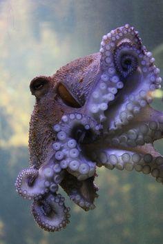 *Octopus (by Nerea Lete). One good octopus deserves many more. Underwater Creatures, Underwater Life, Ocean Creatures, Kraken Octopus, Beautiful Creatures, Animals Beautiful, Fauna Marina, Life Under The Sea, Life Aquatic