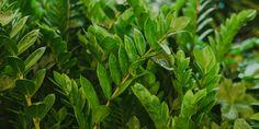 Ζαμιοκούλκας, ανθεκτικό φυτό εσωτερικού χώρου Home And Garden, Herbs, Plants, Garden, Flowers, Nature