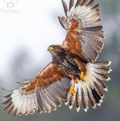 Hawk by Sean Van Dongen