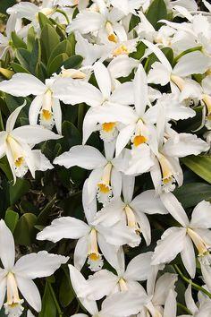 Orquideas brancas