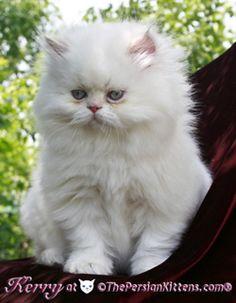 Persian Cat and persian kittens