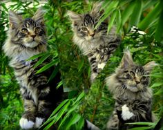 Shedoros Maine Coon Cattery