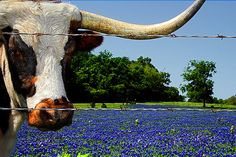 Longhorns and Bluebonnets - Texas Photography Springtime Photo Cattle Animal Cowboy Old West Texan Blue Rural Texas Bluebonnets USD) by slightclutter Texas Bluebonnets, Texas Longhorns, Longhorn Cattle, Deer Photos, Spring Wildflowers, Texas Photography, Photography Journal, Gado, Loving Texas