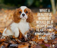 All the things we admire about the Smart Cavalier King Charles Spaniel Pup King Charles Puppy, Cavalier King Charles Dog, King Charles Spaniels, King Spaniel, Spaniel Puppies, What A Beautiful World, Beautiful Dogs, I Love Dogs, Puppy Love