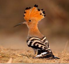 It's a Hoopoe! Such a crazy lookin bird.