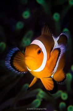Ocellaris clownfish - by Christopher Pen Clownfish, Anemones, Snorkeling, Bunt, Aquarium, Pets, Animals, Color, Underwater