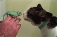Baby chameleon wants to meet cat. [video]