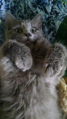 Cat Adoption Ellicott City