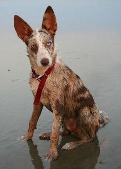 German Coolie dog photo   GERMAN COOLIE