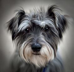 Shop Schnauzer Dog Poster Print created by DogPoundGifts. Personalize it with photos & text or purchase as is! Hyper Realistic Paintings, Animal Paintings, Animal Drawings, Dog Drawings, Miniature Schnauzer Puppies, Schnauzer Puppy, Schnauzers, Dog Poster, Dog Portraits