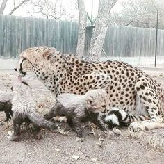 A few weeks back we shared a picture of Mary Jane's newborn cubs. The #cheetah mom has taken impressively well to her new role... and her cubs are just too gorgeous for words... For more on Mary Jane's story, visit our blog hesc.co.za  #hesc #cheetahconservation #cheetahcubs #hoedspruit #wildcats #bigcats #endangeredspeciescentre #conservation