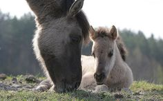 Koniki Polskie / Polish Pony   Poland, Roztocze National Par…   Flickr