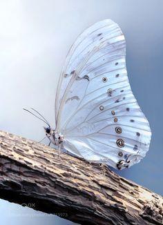 White Morpho Butterfly by Mustafa Öztürk on Morpho Butterfly, White Butterfly, Beautiful Bugs, Beautiful Butterflies, Beautiful Images, Beautiful Things, Macro Photography, Animal Photography, Butterfly Photos