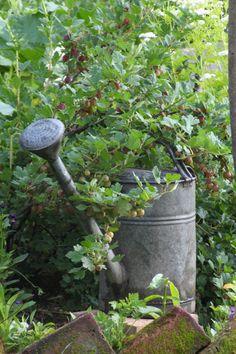 Stachelbeerstrauch und alte Zinnkanne Garden, Plants, Cucumber Recipes, Queen Annes Lace, Roots, Harvest, Garten, Lawn And Garden, Gardens